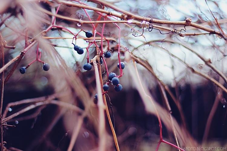 winobluszcz, dzikie wino, bokeh, canon 50 1.4