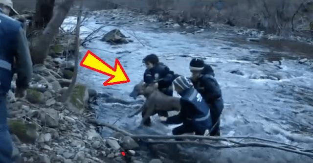 Спасатели нашли полумертвого парализованного волка в ледяной реке…