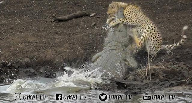 Video Cheetah Disambar Buaya Saat Sedang Asik Minum