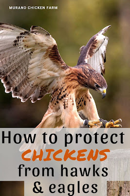 Protecting chickens from raptors