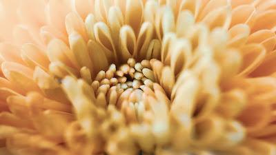 Chrysanthemum, Flower, Petals, Macro, Yellow
