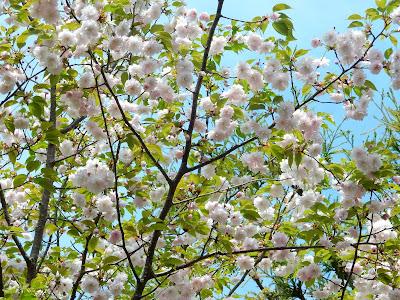 浄妙寺鎌足桜
