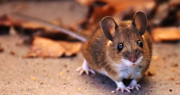 Para ciência ratos costumam brincar de esconde-esconde