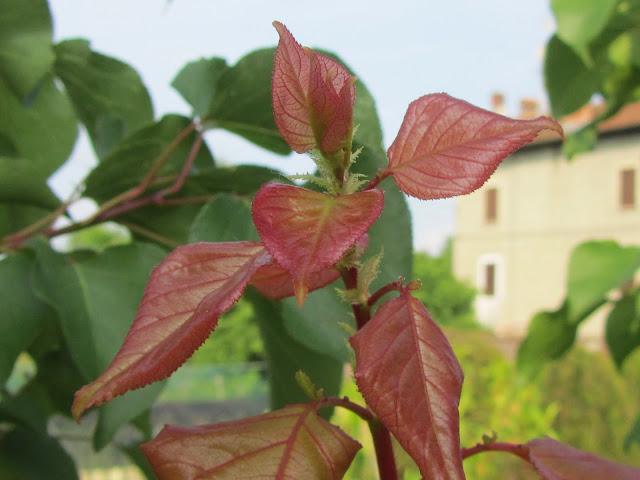 Nuove foglie rosse albicocco