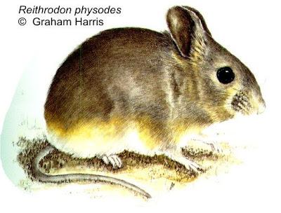 cricetidos de Argentina Reithrodon physodes