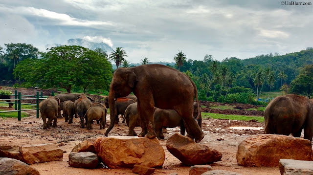 Elephants at Pinnawala Elephant Orphanage