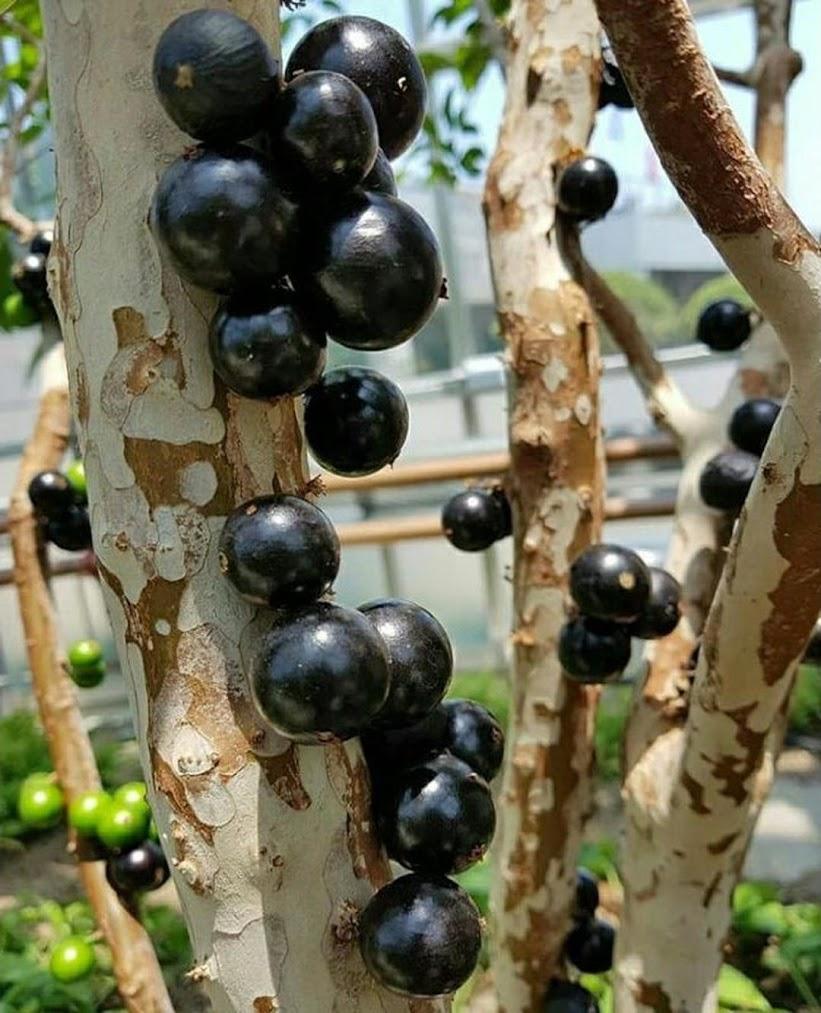 Bibit tanaman anggur pohon preco brazil stek sambung susu bonus 1 bibit anggur Bogor