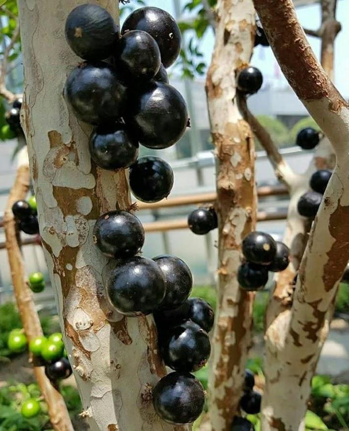 Bibit tanaman anggur pohon preco brazil stek sambung susu bonus 1 bibit anggur Banten