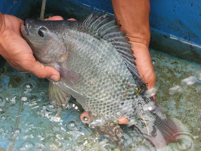 3 Tips Mudah Agar Ikan Nila Cepat Bertelur