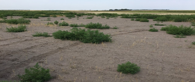A photograph that shows a parcel of land on which nothing grows except a single salt-tolerant weed species.