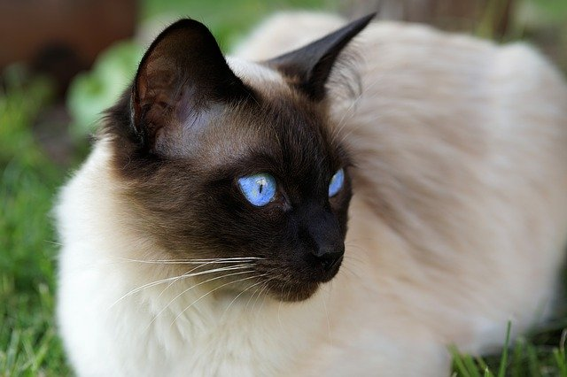 Fakta Kucing Siam