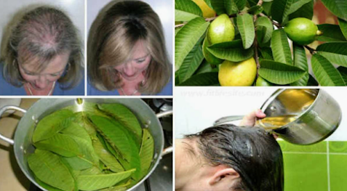 Guava leave against hair loss