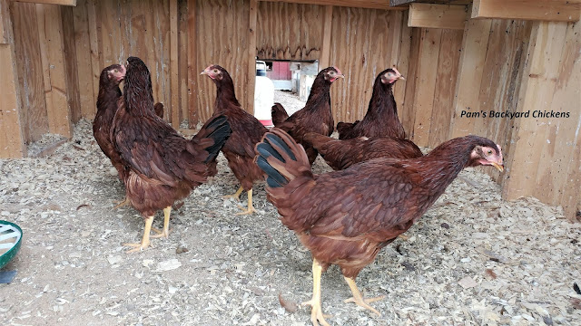 Consider adding some chicken breeds made in America to your flock. These breeds are the backbone of a hardy, productive flock.