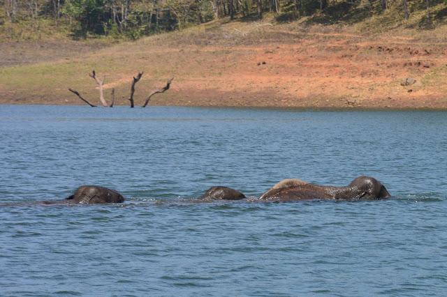 C'est l'heure du bain pour les éléphants de Periyar