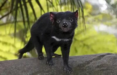 تسمانيا حيوان شيطاني يظهر لأول مرة منذ 3000 عام