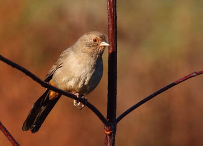 Photo of California Towhee on shrub