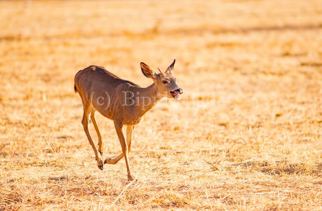 Mule Deer Hopping fast