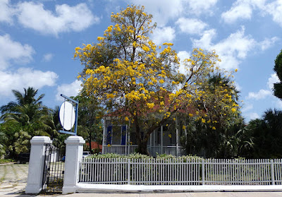 Blooming Yellow Trumpet tree in front of home.
