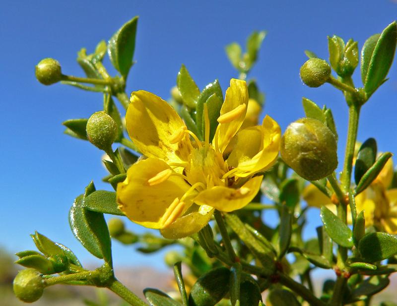 Larrea tridentata flowers