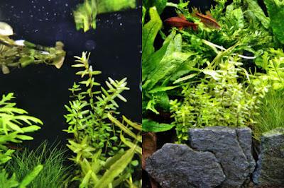 ロタラ1か月後と3が月後の比較。ややまっすぐ伸びるようになった