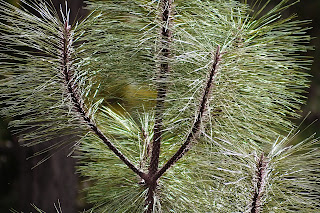 NATURAL TEXTURES pine tree .jpg