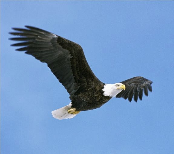 Lovable Images: Cute Eagle HD Birds Images Free Download || BALD ...