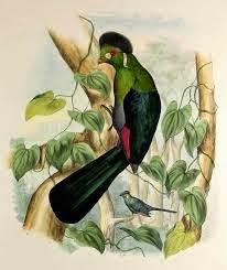 Turaco cariblanco: Tauraco leucotis