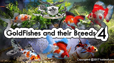 Gold Fishes and Their Breeds Part 4