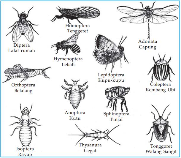Ciri - Ciri dan Contoh Ordo Insekta