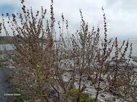 Mallow seeds, Kaikoura - South Island, New Zealand