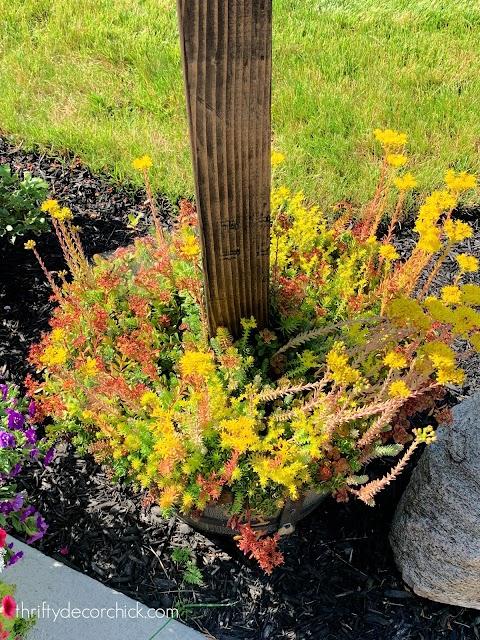 sedum plant in planter