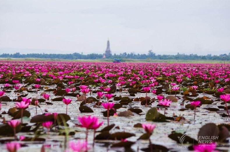 El mar de lotos rojos del lago Nong Han Kumphawapi | Tailandia