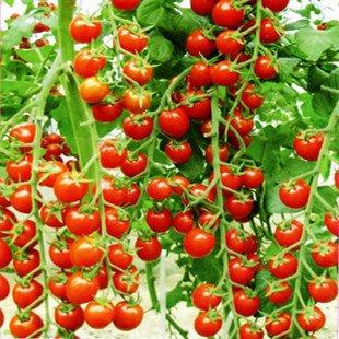 seminte bio ecologice