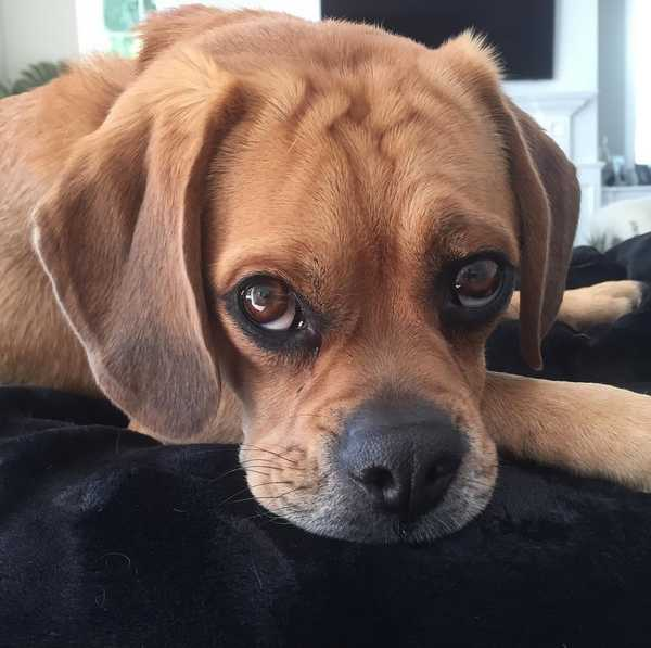 Puggle dog temperament and personality
