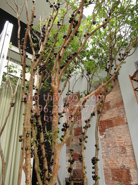 Mua bán rao vặt: Góc cây trồng: Cây Nho thân gỗ Jabuticaba Nho%2Bthan%2Bgo