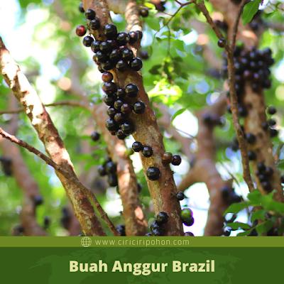 Ciri Ciri Buah Anggur Brazil