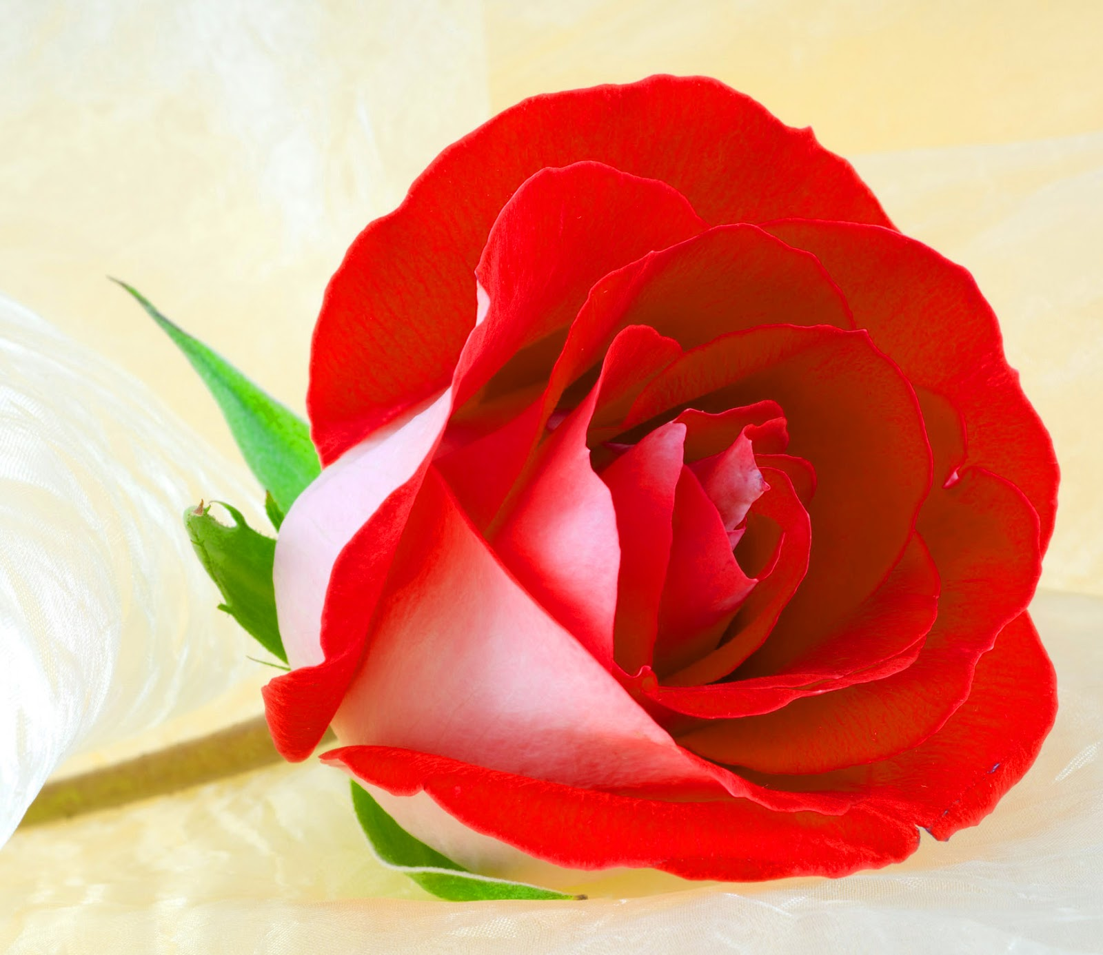 Rose Flowers Dp For Whatsapp Free Download Fresh