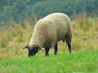 menggiring domba