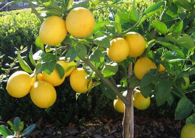 Amefurashi Bibit Benih Seed Buah Jeruk Lemon Import Subulussalam