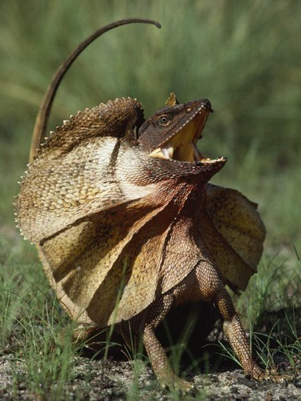 Frill Necked Lizard | Wild Life Animal