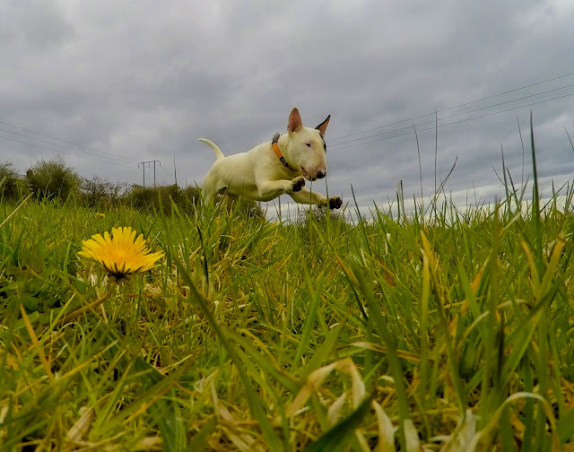 Baxter the Englsih Bull Terrier, Glenn Johnstone