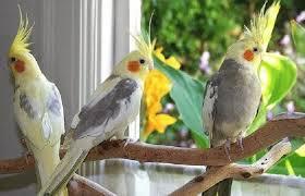 Update Harga Burung Parkit Australia Terbaru 2020