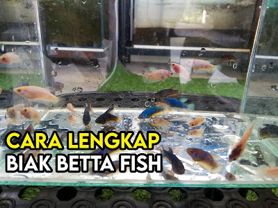 Cara Betul Biak Ikan Betta