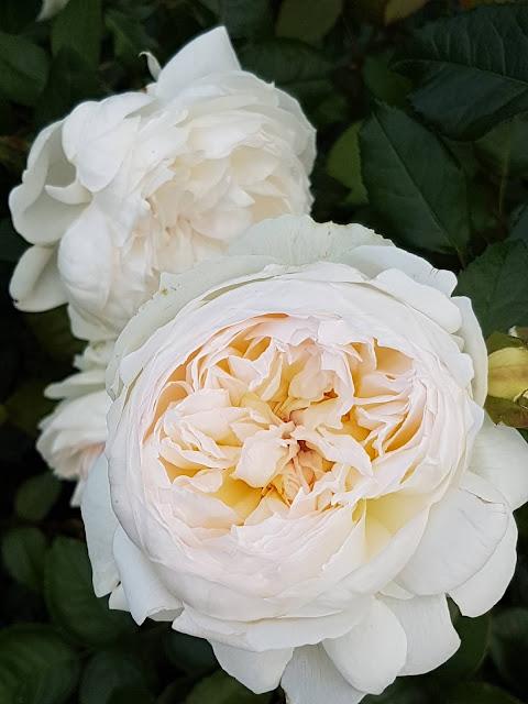 Cream Garden rose blooms
