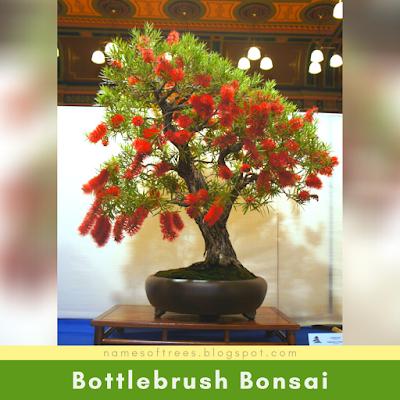 Bottlebrush Bonsai