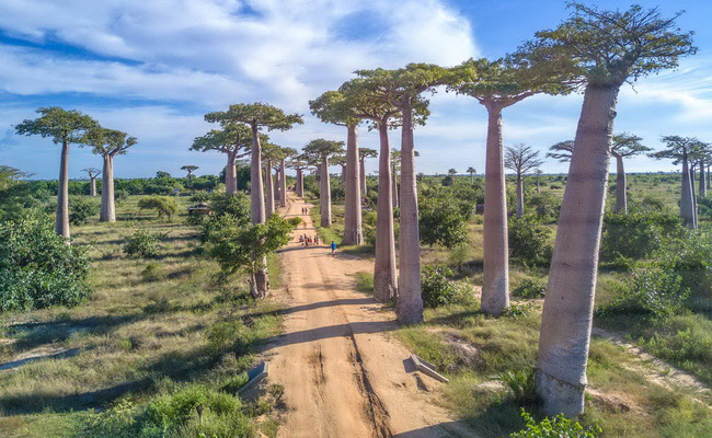 Xvlor.com The Avenue of the Baobabs is row of Adansonia grandidieri trees