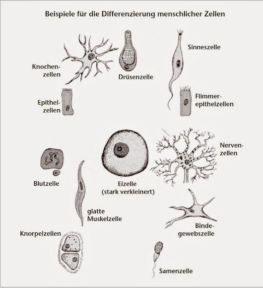 Aufbau Einer Zelle Arbeitsblatt : Zytologie und histologie zelle zellen die kleinsten