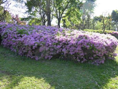 モチツツジの花車という園芸種