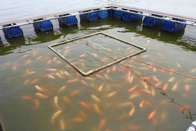 How to Raise and Breed Tilapia