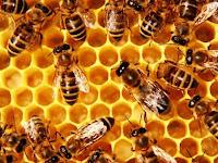 Bagaimana Seekor Lebah Bisa Menjadi Ratu dan Memimpin Koloni..